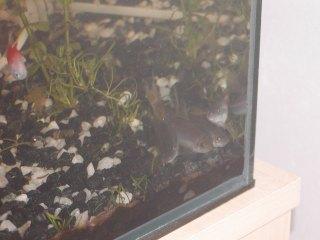 Parmičky jednopruhé společně v akváriu