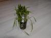 Lilaeopsis novea zelandia