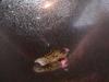 Piskořka věžovitá (Melanoides tuberculatus)
